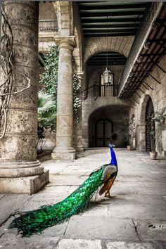 Peacock in Museo de la Ciudad, Havana, Cuba