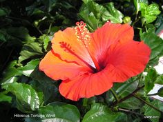 Red hibiscus are very popular. This hot color looks great around pools & water features - either in pots or planted in beds or borders. Add crotons to the mix - instant tropical paradise! Full sun & well-drained soils are key!