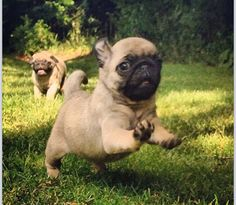 Run little puggy, run!
