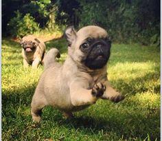 Run little puggy, run!