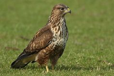 De Buizerd - The Buzzard. A soaring bird, which is a bird that can maintain flight without wing flapping, using rising air currents. Many gliding birds are able to 'lock' their extended wings by means of a specialized tendon.