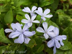 Variedad azul de la flor Celestina, Plumbago auriculata
