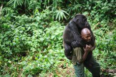 Um guarda no Parque Nacional de Virunga, no leste da República Democrática do Congo, carrega um gorila orfão no ombro nesta terça (17). O parque é o lar de aproximadamente 210 gorilas, um quarto da população desta espécie em todo o mundo.