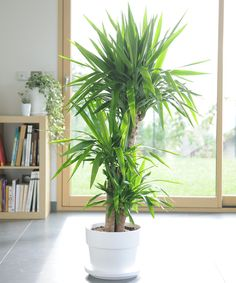 Let's talk a little about Yucca, it is an easy-care plant because it requires very . House Plants Decor, Plant Decor, Faux Plants, Green Plants, Tropical Garden, Tropical Plants, Yucca Plant Indoor, Plantas Indoor, Home Decor