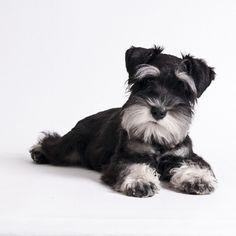 Miniature Schnauzer Puppies   World of Animal