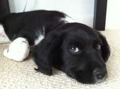 Poppy nearly 10 weeks old. Sprollie, border collie/ springer spaniel pup!