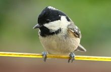 Coal Tit - Irish variation (note yellowish cheeks and breast, instead of white)
