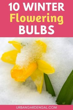 Planting winter flowering bulbs is a great way to brighten up your garden during the winter months. There are many different bulbs that bloom in late winter and in this article I've listed my top ten bulbs for winter flowers. #bulbs #flowers #flowergarden