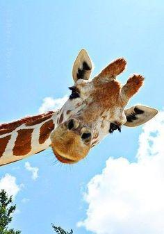 Ideas For Wall Paper Iphone Cute Giraffe Animals Giraffe Art, Cute Giraffe, Giraffe Pictures, Cute Animal Pictures, Beautiful Creatures, Animals Beautiful, Animals And Pets, Funny Animals, Cute Backgrounds