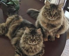 No cat Allergies to Hypo Allergenic Siberian Cats - Croshka Siberians Cute Cats And Kittens, Cool Cats, Kittens Cutest, Funny Kittens, White Kittens, Black Cats, Pretty Cats, Beautiful Cats, Siberian Kittens