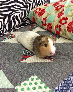 Sebastian Guinea Pig