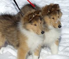 Beautiful pair of Collie pups