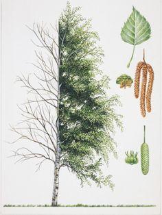 Birch (Betula), Illustration Photographic Print at Art.com