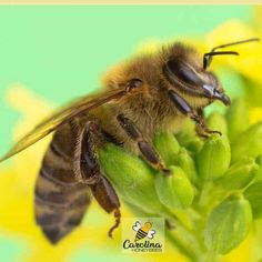 Lifespan Of A Bee - How long does a bee live on average is determined from the start of its life cycle an egg. Honey bee larvae hatch from eggs in three to four days. How Long Do Bees Live Lifespan Of Bees Carolina Honeybees The lifespan of a bumble… Types Of Honey Bees, Different Types Of Bees, Queen Bee Quotes, Barry Bee Benson, Bee Identification, Honey Bee Life Cycle, Honey Bee Facts, Male Bee, Art