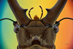 Cyclommatus canaliculatus male