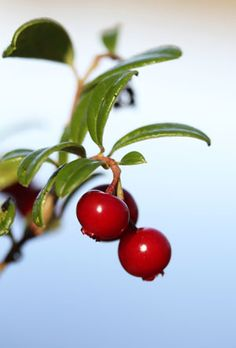 Lingonberry - produces magnificent and most delicious juice. Kiitos, Suomi!
