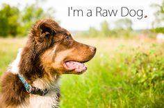 Australian Shepherd on a raw diet.