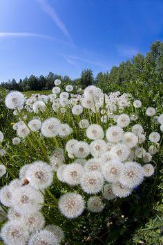 heyfiki:  Dandelions (Explored) by Douglas Brown on Flickr.