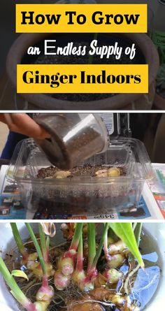 DIY Indoor ginger gardening: When it comes to growing ginger, we recommend growing it indoors so that you can have it year round.
