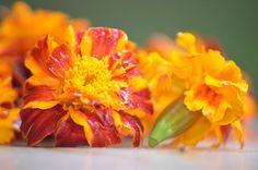 aksamitka to źródło luteiny, kwiat jadalny i przyprawa, nadająca żółty kolor. Jak oszczędzać pieniądze? zbierając zioła zamiast kupować suplementy Geraniums, Food Hacks, Home Remedies, Nutella, Herbalism, Flora, Healthy Living, Spices, Food And Drink