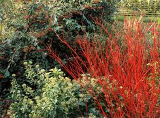 Dogwood Shrub, Red Osier Dogwood, Red Twig Dogwood, Dogwood Trees, Red Shrubs, Evergreen Shrubs, Trees And Shrubs, Dwarf Shrubs, Gardens