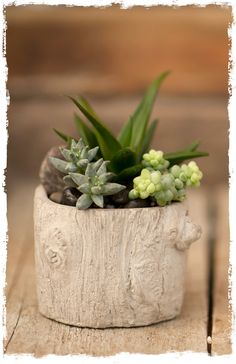Here at West Coast Gardens we grow thousands of succulent plants every year in our greenhouses. We're proud of our healthy and beautiful succulents. Succulents In Containers, Cacti And Succulents, Planting Succulents, Indoor Flowering Plants, Air Plants, Garden Terrarium, Garden Planters, Terrariums, Succulent Bonsai