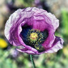 Amapola. La flor del opio...