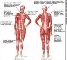 the muscular system diagram – lickclick, Muscles