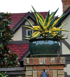 Variegated agave