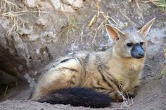 """aardwolf! The aardwolf is a small, insectivorous mammal, native to East Africa and Southern Africa. Its name means """"earth wolf"""" in the Afrikaans / Dutch language."""