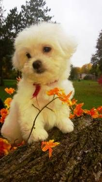 Adorable - calm-Havanese/Maltese Little girl !!!