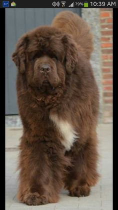 i once saw a newfoundland and my father said it looked like either that or a trained bear Free Tutorials Big Dogs, I Love Dogs, Cute Dogs, Dogs And Puppies, Brown Newfoundland Dog, Newfoundland Puppies, Dogue Du Tibet, Yorkshire Terrier, Terra Nova