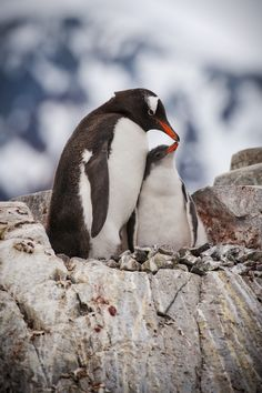 Gentoo penguin mom with her chick in Antarctica. Nature Animals, Animals And Pets, Baby Animals, Cute Animals, Penguin Love, Cute Penguins, Beautiful Birds, Animals Beautiful, March Of The Penguins
