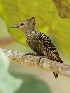Buff-rumped Woodpecker (Meiglyptes grammithorax)            ~ photo by wokoti