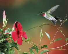 Ruby Throated Hummingbird. LOVE these birds!