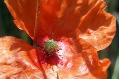 Amapola roja II