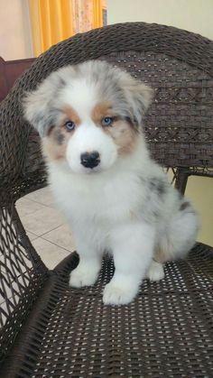 OMGoodness, i want her..Australian Shepherd puppy