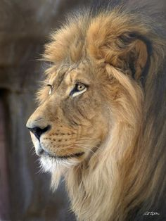 Lion Photograph - Israel by Bill Stephens yo soy el rey Lion Images, Lion Pictures, Lion King Art, Lion Art, Majestic Animals, Animals Beautiful, Safari Animals, Cute Animals, Wild Animals