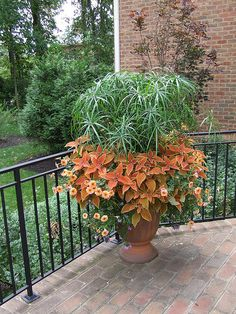Papyrus and Coleus 'Teracotta' by mclandgardens, via Flickr