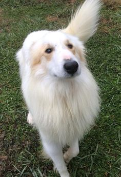 Hamesh - Tri-State Collie Rescue, so handsome! Hope he gets a great home.