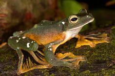 Wallace's Flying Frog - Rhacophorus nigropalmatus
