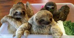 You Haven't Lived Until You've Heard Baby Sloths Having aConversation