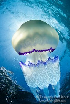 Rhizostoma pulmo, also known as  the Barrel jellyfish, or the Dustbin-lid jellyfish. It is the largest jellyfish found in British waters.