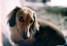 puppy dog eyes #doxie #cute #dachshund