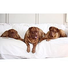 """My beautiful dogues❤️#love #life #latergram #doguedebordeaux #frenchmastiff #mastiff #mastiffsofinstagram #instagood #instalove #ilovemydog #instagreat #instahappy #ilovemydogs #puppy #picoftheday #photooftheday #petsofinstagram #pictureoftheday #puppiesofinstagram #dog #doglover #dogstagram #dogoftheday #bully #bulldog #boxer #boxersofinstagram #hi"" Photo taken by @gypsiegirls on Instagram, pinned via the InstaPin iOS App! http://www.instapinapp.com (03/20/2015)"