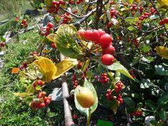 http://faaxaal.forumgratuit.ca/t1730-photos-d-arbustes-alisier-petit-neflier-alisier-nain-sorbus-sudetica-sorbus-chamaemespilus-subsp-sudetica-pyrus-sudetica-aria-sudetica  Photos gratuites et libres de droits d'arbustes : Alisier Petit-Néflier - Alisier nain - Sorbus sudetica - Sorbus chamaemespilus subsp. sudetica - Pyrus sudetica - Aria sudetica    Flore de France - Arbustes d'Europe - Sorbier d'Espagne - Photo de Sorbier dans le Domaine Public