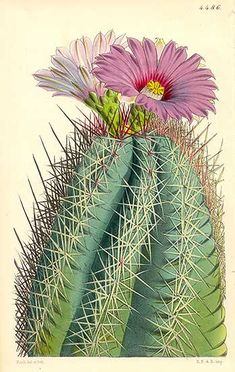 The Botanical Magazine (1787-1983), Cactus: Echinocactus Rhodophthalmus, Mexico