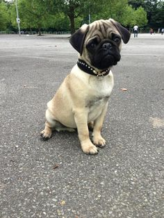 Pug - My what a big head you have there puggie