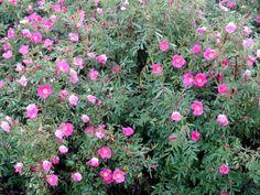 (Museumpark) Rosa nitida