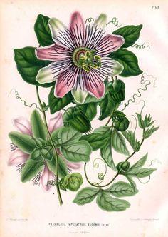 Passion Flower 'Imperatrice Eugenie ' Passiflora x belotii) (Lemaire, 1858)